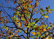 Autumnal chestnut tree Stock Images