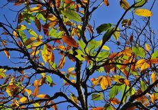 Autumnal chestnut tree Stock Image