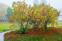 The autumnal clove tree Royalty Free Stock Photography