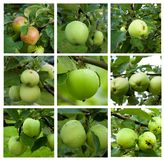 Autumnal collage - branch with ripe green apples and green leaves Stock Photography