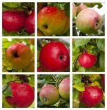 Autumnal collage - branch with ripe red apples and green leaves. stock photography