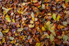 Autumnal colored beech leaves fallen on the forest floor. Texture of autumnal colored beech leaves fallen on the forest floor stock photos