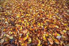 Autumnal colored beech leaves fallen on the forest floor. Texture of autumnal colored beech leaves fallen on the forest floor stock images