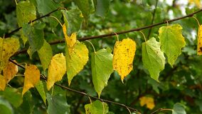 Autumnal colored birch leaves dancing in wind