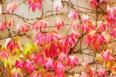 Autumnal colored grape vine at a house facade Royalty Free Stock Photo