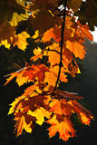 Autumnal colored leaves Royalty Free Stock Images