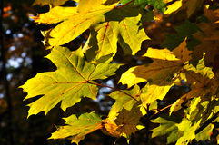 Autumnal colored leaves Royalty Free Stock Photo