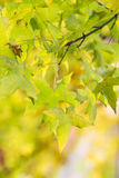 Autumnal colored leaves Royalty Free Stock Photos