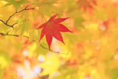 Autumnal colored leaves, maple Royalty Free Stock Image