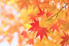 Autumnal colored leaves, maple Stock Photography
