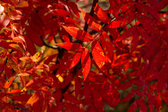 Autumnal colored leaves in the Shiretoko Royalty Free Stock Photography