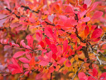 Autumnal colored leaves Royalty Free Stock Image