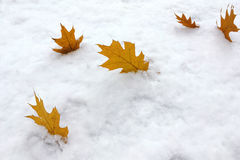 Autumnal colored maple leaves on first snow background Stock Photos