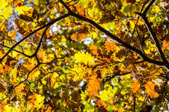 Autumnal colored oak leaves in backlight sun Stock Image