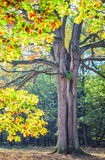 Autumnal colored oak tree Royalty Free Stock Photos