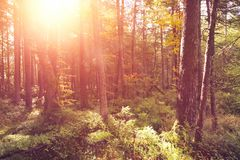 Autumnal colorful forest at sunrise. With sun rays Royalty Free Stock Photography
