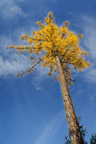 Autumnal colorful larch tree Stock Images