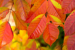 Autumnal colorful leaves in Japan Stock Image