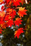 Autumnal colorful leaves in Shiretoko Stock Image