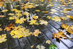 Autumnal colorful wet maple leaves on cobblestone sidewalk Royalty Free Stock Photo