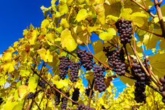 Autumnal colors of alsacien vineyards, France Royalty Free Stock Photography
