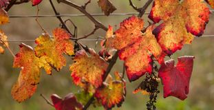 Autumnal colors after the harvest in an Italian vineyard royalty free stock images