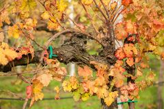 Autumnal colors after the harvest in an Italian vineyard royalty free stock image