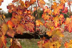 Autumnal colors after the harvest in an Italian vineyard stock photography