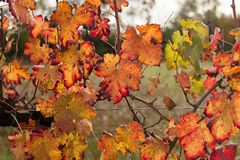 Autumnal colors after the harvest in an Italian vineyard stock photos