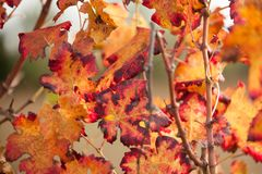 Autumnal colors after the harvest in an Italian vineyard royalty free stock photo