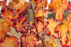 Autumnal colors after the harvest in an Italian vineyard stock images