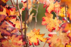 Autumnal colors after the harvest in an Italian vineyard stock photo