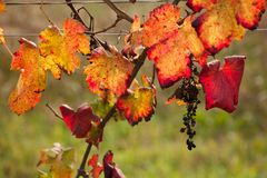 Autumnal colors after the harvest in an Italian vineyard royalty free stock photography