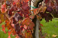Autumnal colors after the harvest in an Italian vineyard stock image