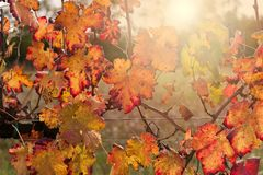 Autumnal colors after the harvest in an Italian vineyard royalty free stock photos
