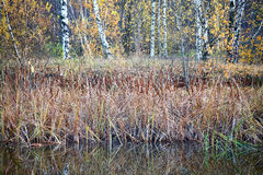 Autumnal colors and mood. – small rushy pond in the forest royalty free stock images