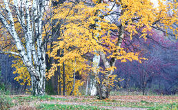 Autumnal colors and mood. – old birch tree stock photography