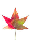 Autumnal colour change in species of maple tree. Royalty Free Stock Photography