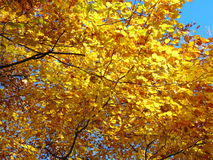Autumnal colours. Tree in yellow autumnal colours Royalty Free Stock Photo