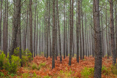 Autumnal Coniferous forests. Autumnal Coniferous and Fern forests Nature Portugal Royalty Free Stock Photos