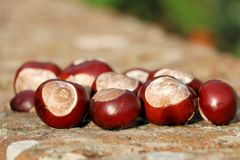 Autumnal conker collection from a forest. Royalty Free Stock Photos