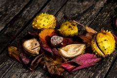 Horse Chestnuts and Autumn Leaves, Oxford UK Royalty Free Stock Image