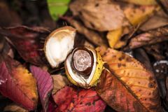 Horse Chestnuts and Autumn Leaves, Oxford UK Stock Image