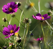 Autumnal cosmos flowers Stock Photo