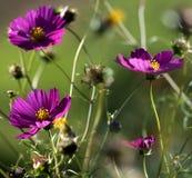 Autumnal cosmos flowers Stock Photo