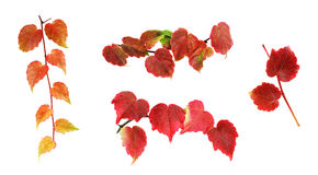 Autumnal creeper branches. Royalty Free Stock Image