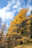 Autumnal dahurian larch Royalty Free Stock Images