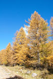 Autumnal dahurian larch Stock Photos