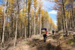 Autumnal dahurian larch Stock Photography