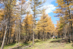 Autumnal dahurian larch Royalty Free Stock Photo